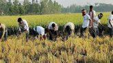 গোপালগঞ্জে কৃষকের ধান কেটে দিল ছাত্রলীগ